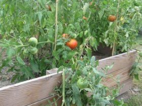 Les tomates tant attendues... (pas tout à fait mûres ici)