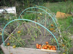 Merci pour tout, les tomates ! A l'année prochaine...